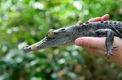 Barnet behandla som ett barn den australiska krokodilen för salt vatten Royaltyfri Fotografi