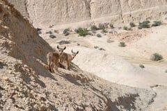 Barnet behandla som ett barn den Nubian stenbocken i den Negev öknen, Nahal Tzin och Ein Avedat av Sde Boker i sydliga Israel arkivfoto