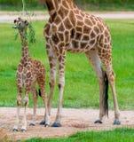 Barnet behandla som ett barn giraffet med dess moder Arkivbild