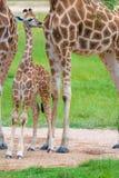 Barnet behandla som ett barn giraffet med dess moder Royaltyfria Foton