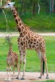 Barnet behandla som ett barn giraffet med dess moder Royaltyfri Bild