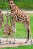 Barnet behandla som ett barn giraffet med dess moder Arkivfoto