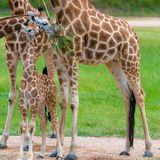 Barnet behandla som ett barn giraffet med dess moder Fotografering för Bildbyråer
