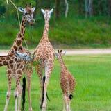 Barnet behandla som ett barn giraffet med dess moder Arkivbilder