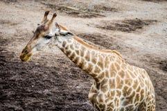 Barnet behandla som ett barn giraffet på lerigt fältjordgolv Royaltyfri Fotografi