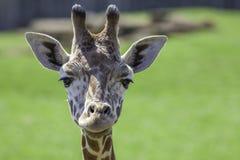 Barnet behandla som ett barn giraffet som ser kameran Huvudskott med fokusen på ey Arkivfoto