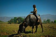 Barnet bevattnar på buffeln Royaltyfri Fotografi