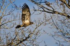 Barnet blir skallig Eagle Flying Past vinterträden royaltyfria bilder