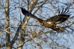 Barnet blir skallig Eagle Flying Past vinterträden fotografering för bildbyråer