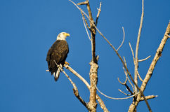 Barnet blir skallig Eagle Perched i ett dött träd Royaltyfri Foto