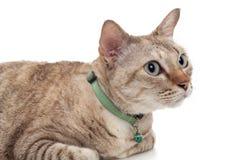 Barnet bryner katten som ligger på vit bakgrund Arkivbilder