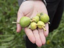 Barnet gör grön äpplefrukter som är skadade vid vårfrost Arkivbilder