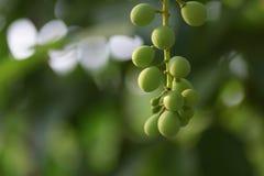 Barnet gör grön grön bakgrund för grapeswith Royaltyfri Fotografi