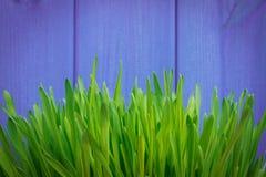 Barnet gör grön korngräs på purpurfärgad bakgrund Arkivfoto