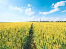 Barnet gör grön kornhavre som växer i fältet, ljus på horisonten Sol ovanför horisonten Royaltyfria Bilder