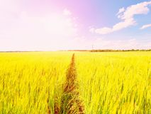 Barnet gör grön kornhavre som växer i fältet, ljus på horisonten Sol ovanför horisonten Royaltyfria Foton
