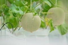 Barnet gör grön melon eller cantaloupmelon som växer i växthuset royaltyfria bilder