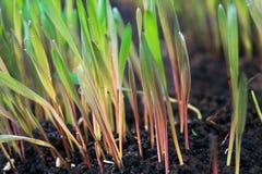 Barnet gör grön råggroddar med soliga daggdroppar på dunged land Royaltyfri Bild
