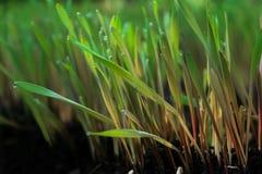 Barnet gör grön råggroddar med soliga daggdroppar på land Royaltyfria Foton