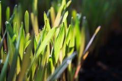 Barnet gör grön råggroddar med soligt ljus Fotografering för Bildbyråer