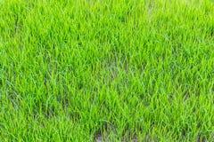 Barnet gör grön risfälttextur Arkivbild