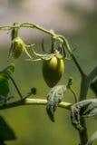 Barnet gör grön Roma Tomato på växten Royaltyfria Bilder