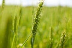 Barnet gör grön veteöron på fält Arkivbild
