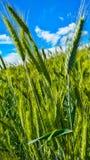 Barnet gör grön vete-fältet mot den blåa himlen Royaltyfri Fotografi