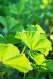 Barnet gör grön vibrerande sidor av ängfältväxten i guld- solljus Begrepp för vårsommarpåsk Botanisk lövverkbakgrund Royaltyfria Bilder