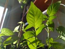 Barnet g?r gr?n plantor av r?d peppar royaltyfri bild