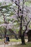 Barnet kopplar ihop promenaden under stort körsbärsrött blommaträd Royaltyfria Foton