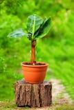 Barnet lade in bananväxten, på färgrik trädgård Arkivbild