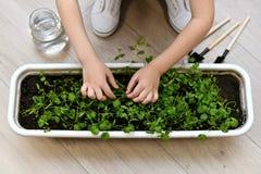 Barnet med två händer undersöker skörden av grönska royaltyfri bild