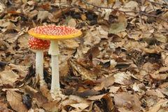 Barnet och den mogna flugsvampAmanitamuscariaen plocka svamp att växa Royaltyfria Bilder