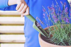 Barnet räcker att plantera blommalavendel i krukan royaltyfria bilder