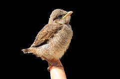 Barnet Röd-drog tillbaka törnskatafågeln arkivfoton