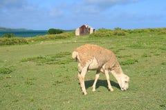 Barnet rammar att äta gräs, Rodrigues Island Arkivbilder