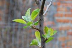 Barnet skjuter med tjänstledigheter på äppleträd i vår Arkivfoton
