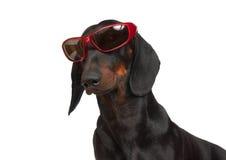 Barnet slätar den svarta och solbrända taxen i röd rimmed solglasögon Fotografering för Bildbyråer