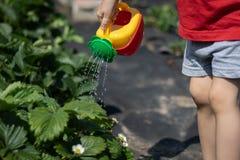 Barnet som bevattnar en jordgubbebuske från enguling som bevattnar kan Fotoet visar händerna av ett barn, ingen framsida unge arkivbilder