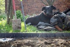 Barnet svärtar beauceronhunden Arkivfoto