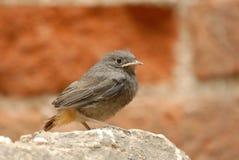 Barnet svärtar redstartfågeln (Phoenicurusochruros) Arkivfoto