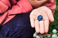 Barnet väljer bluberries och håller bäret i gömma i handflatan Royaltyfri Fotografi