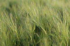 Barngräsplanöron av vete, härlig bakgrund, mjuk fokus Fotografering för Bildbyråer