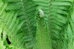Barngräsplanforsar av ormbunkar, Polypodiophyta Tecknad filmbakgrund Gräsplankrullning close upp royaltyfria bilder