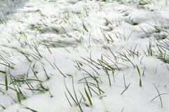 Gräs i snowen Royaltyfri Foto