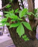 Barngräsplansidor av en kastanj på ett träd arkivfoton