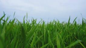 Barngräsplansidor av vete på jordbruksmark på en solig dag Det unga gröna vetet som växer på en stor industriell jordbruksmark stock video