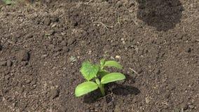 Barnhänder som bevattnar plantera frö, plantagrönsaker, åkerbrukt fält, 4K arkivfilmer