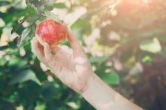 Barnhanden - välj det röda mogna äpplet på träd i trädgård royaltyfri bild
